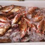 輪島の魚 はちめ他