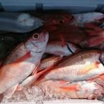 輪島の魚 のどぐろ