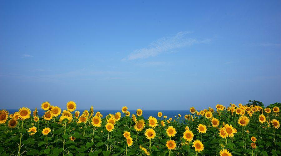 ひまわり畑の写真